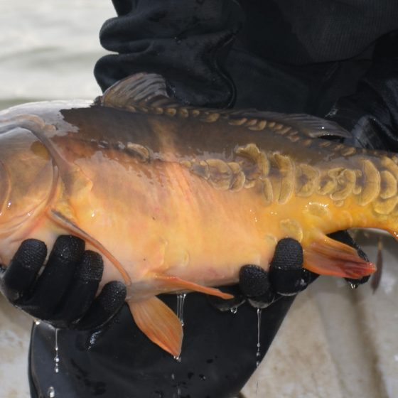 We moved carp from the stock pond into the main lake complex in 2014.