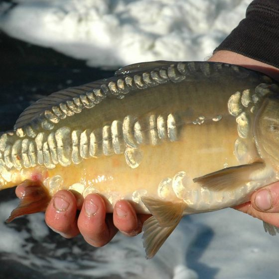Priory carp were stocked in 2008.