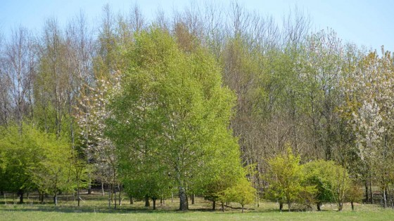 During spring some of the more established trees show off their stunning blossom