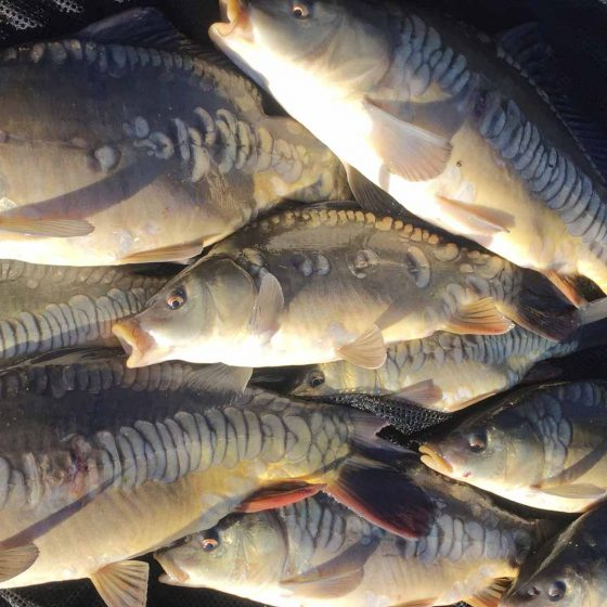 Many of the fish in the lakes are scaled mirrors, with some stunning linear carp among them.